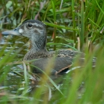 WBA Finds a Baikal Teal!