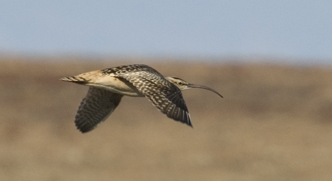 Bristle-thighed Curlew near Nome. Photo Aaron Lang.