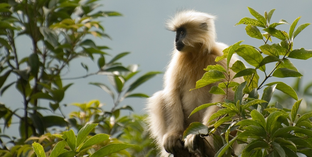 Golden Langur, Bhutan. Photo Aaron Lang.