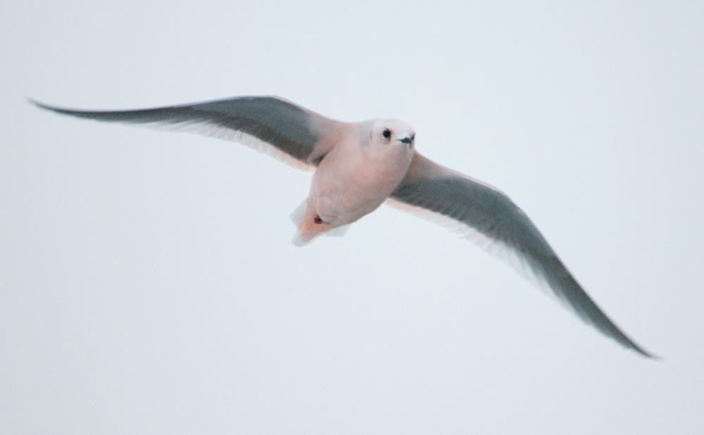 Ross's Gull, Barrow. Photo Aaron Lang.