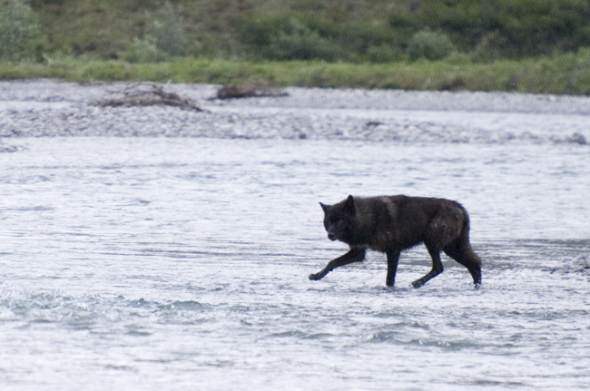 Wolf, Canning River. Photo Aaron Lang.