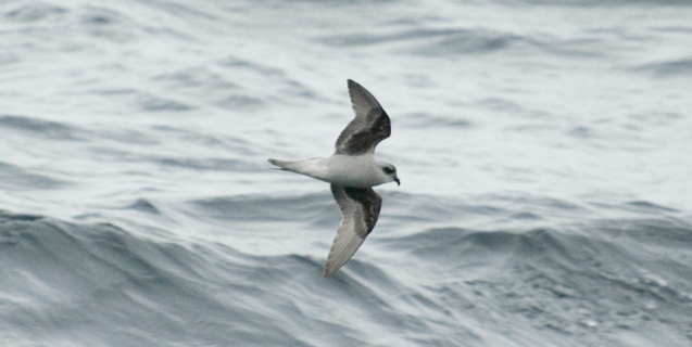 Pelagic Birding in Alaska!