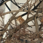 Rustic Bunting in the Neighborhood