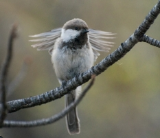 2014 Search for Chickadees