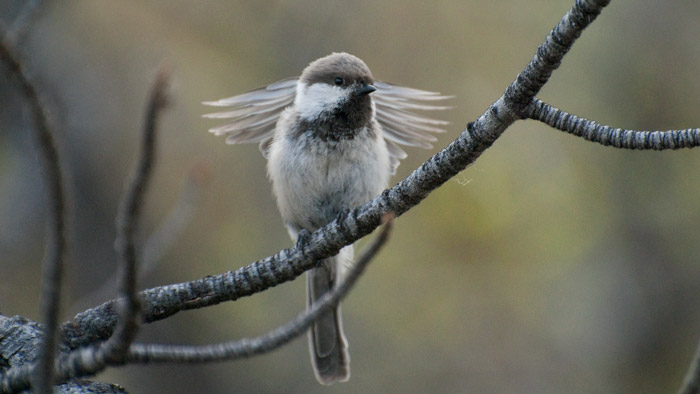 A Gray-headed Chickadee stretches after a busy morning of catching bugs for two hungry chicks.