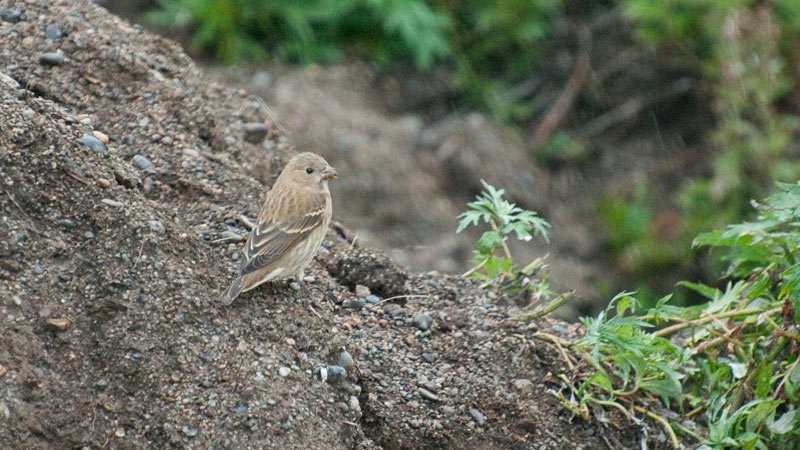 A very accommodating Common Rosefinch pauses from its meal of seeds to pose for the camera. Photo Aaron Lang.