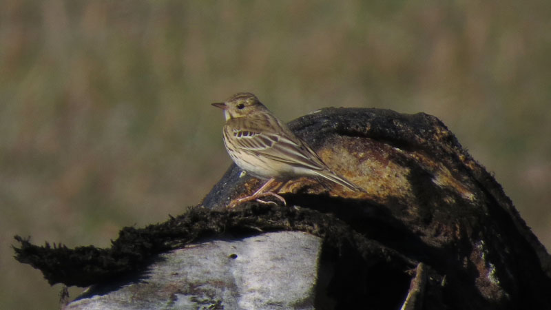 A Tree Pipit poses nicely on a bowhead whale jawbone at Gambell. Photo David Govatski.