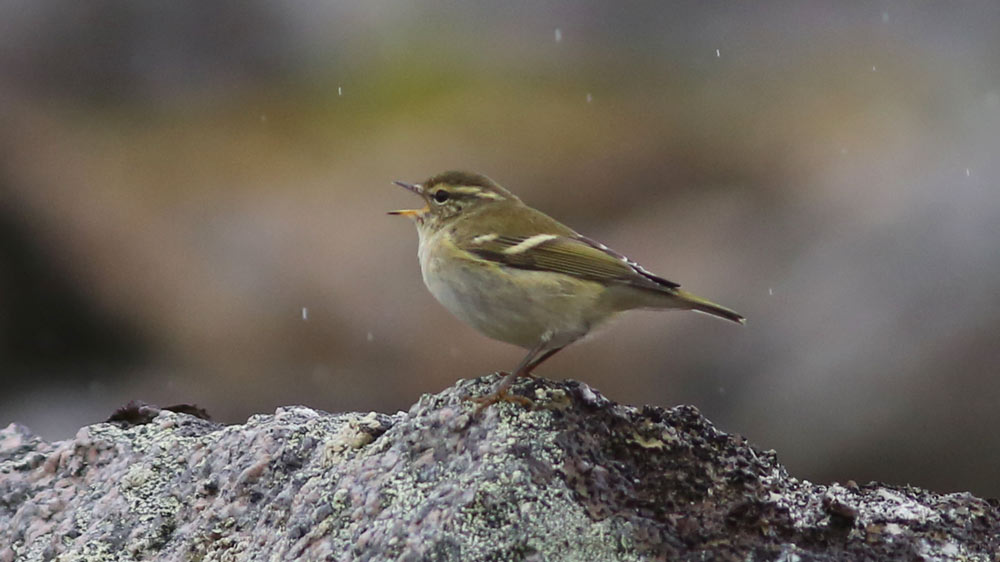 A Yellow-browed Warbler sings from a rock pile in Gambell. Photo James Levison.