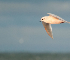 The Ross's Gull Migration: Barrow 2014