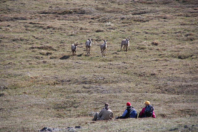 A group of curious caribou investigate the group near camp on the Aichilik River. Photo Carole Comeau.