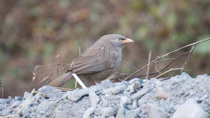 The subtly beautiful Jungle Babbler is found along the border with India in the south of Bhutan.