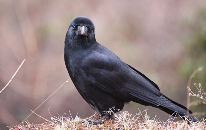 The Large-billed Crow is common throughout Bhutan.