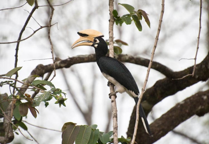 Four species of hornbill inhabit the forests of Bhutan and we were fortunate to have great looks at all four. Here an Oriental Pied Hornbill rests alongside the road.