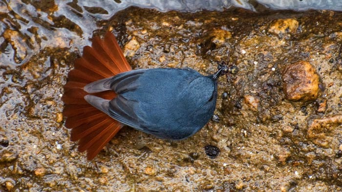 The fanned tail of a Plumbeous Water Redstart.