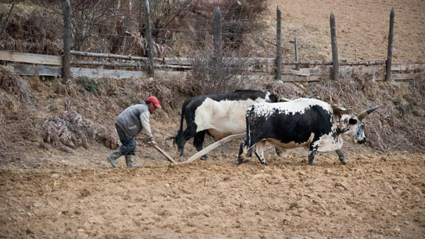 Traditional plowing with livestock in the Bumthang valley.