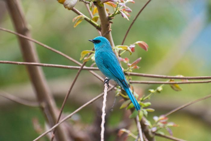 Stunning and glamorous, the Verditer Flycatcher.