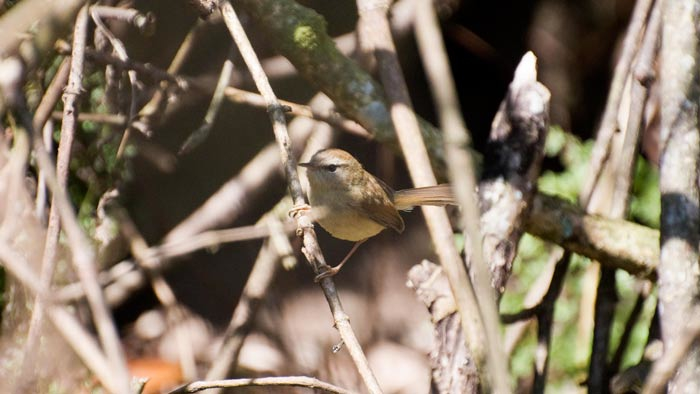 What the Yellowish-bellied Bush Warbler lacks in visual appeal it more than makes up for with its song!