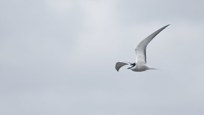 An Aleutian Tern cruises by the Nome Harbor. Photo Aaron Lang.