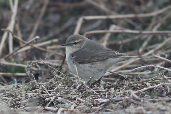 This remarkably accommodating Chiffchaff, only the 5th record for North America, wowed birders in the boneyard on June 6th. Photo James Levison.