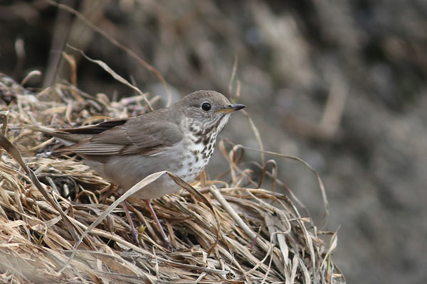 Gray-cheeked Thrush is a trans-Beringian migrant. After wintering in the foothills of the Andes a few make the long journey to the Russian Far East where in the spring they cross paths with east bound Bluethroats, Northern Wheatears and Arctic Warblers. Photo James Levison.