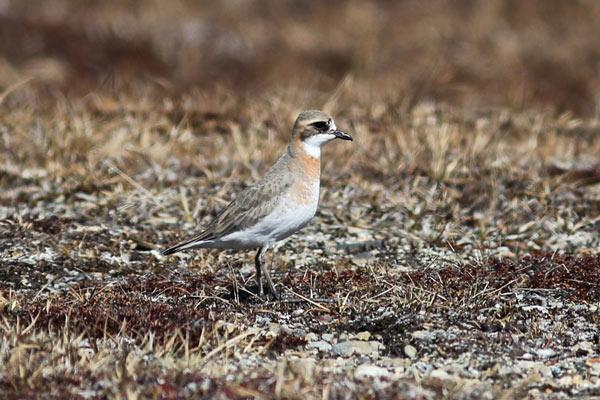 Lesser Sand-Plover is a subtle stunner. Photo James Levison.