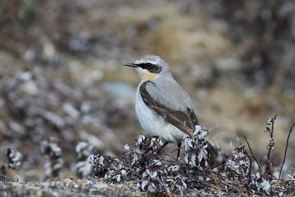 A striking male Northern Wheatear poses at Gambell, Alaska. Photo James Levison.