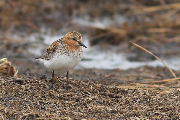 Red-necked Stint is a regular migrant at Gambell and most of our spring tours find one or two. Photo James Levison.