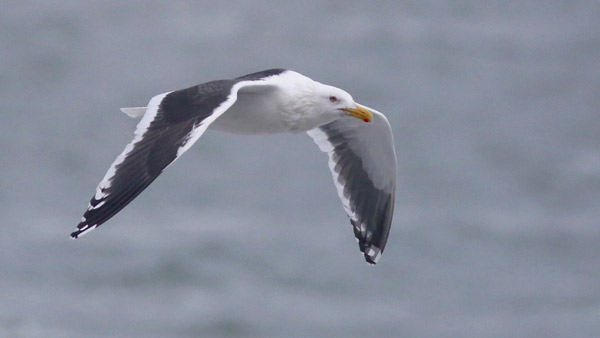 An adult Slaty-backed Gull at Gambell, Alaska. Photo James Levison.
