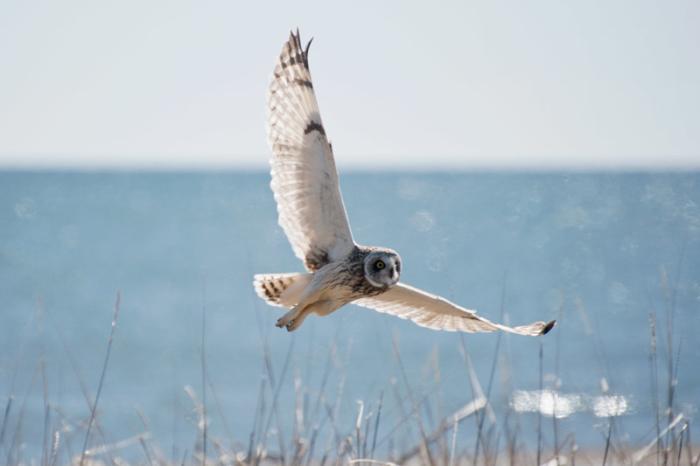A Short-eared Owl cruises Safety Sound, near Nome, Alaska. Photo Aaron Lang.