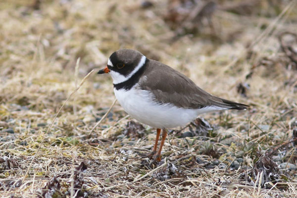 Semipalmated Plover at Gambell, Alaska. Photo James Levison.