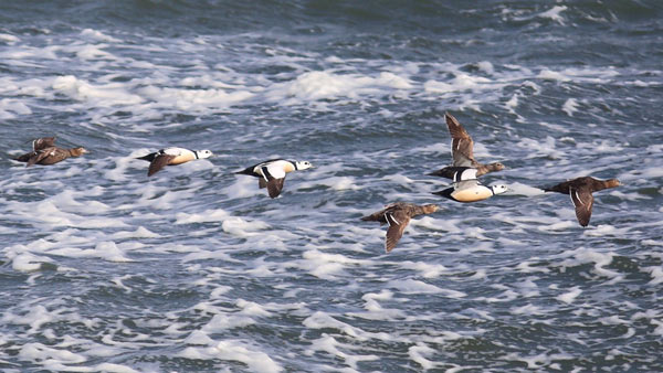 A flight of Steller's Eiders by the point, Gambell, Alaska. Photo James Levison.