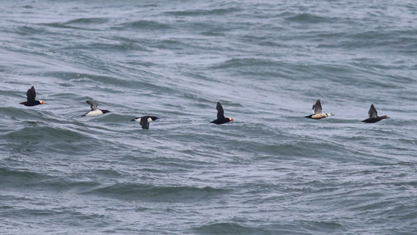 Tufted Puffin, Common Murre, and Steller's Eiders fly past the point at Gambell, Alaska. Photo James Levison.