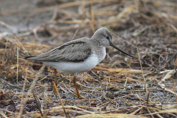 Terek Sandpiper in profile showing its long, up-turned bill. Photo James Levison.