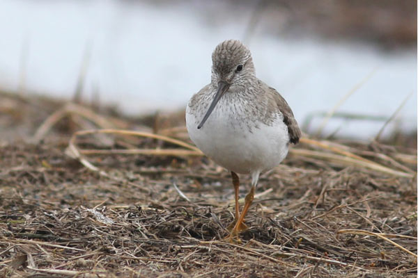 James captured this fantastic portrait of one of the trip's best birds, the fantastic Terek Sandpiper which was seen on both of our spring trips this year. Photo James Levison.