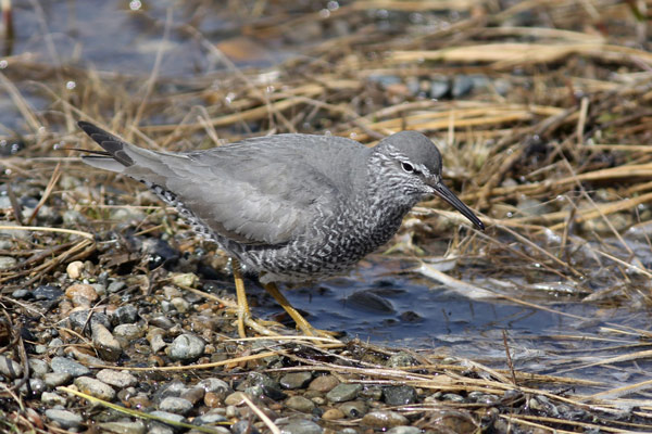 Wandering Tattler at Gambell. Photo James Levison.