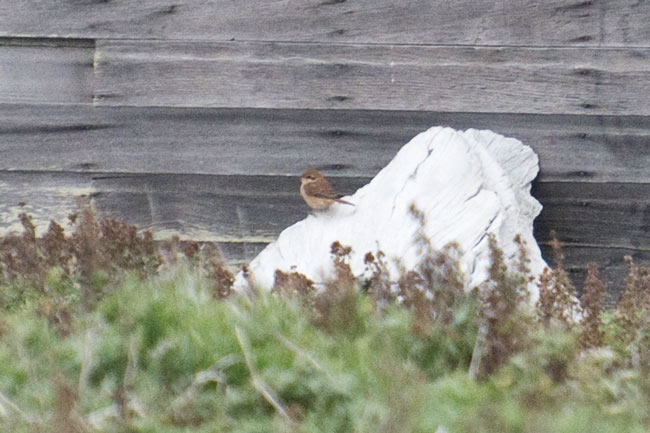 This skittish Brown Shrike proved elusive most of the time, but did sit in the open occasionally during its week-long stay at Gambell. Photo Aaron Lang.