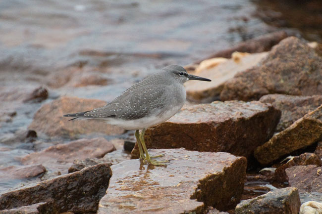 The bold spotting on the upperparts of this young tattler identify it as a Gray-tailed Tattler. This species is slightly more common at Gambell than the similar Wandering Tattler. Photo Aaron Lang.