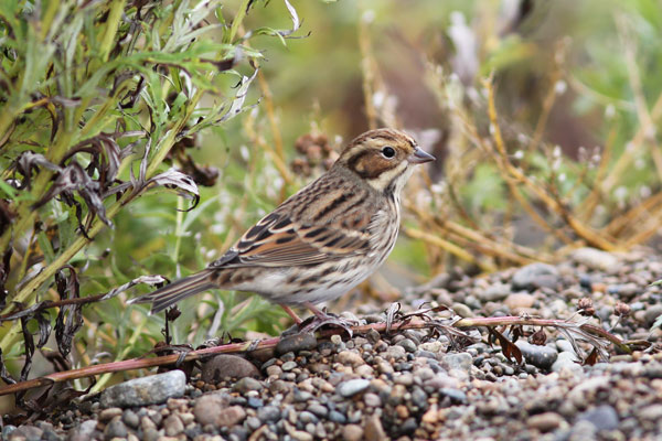 James Levison captured this fantastic portrait of the Little Bunting, which showed well on the first three days of our tour to Gambell. Photo James Levison.