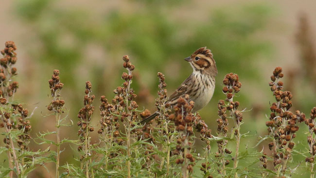 The orange cheek patch, pale auricular spot surrounded by black, and white eye-ring help to identify this small bird as a Little Bunting. The crest is also notable most, but not all of the time. Photo James Levison.