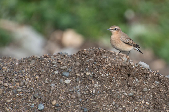 Northern Wheatears are common migrants at Gambell and we saw a number of them during the first half of the tour. Photo Aaron Lang.