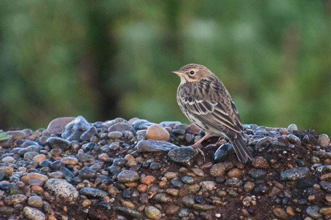 Another shot of a Red-throated Pipit. Photo Aaron Lang.