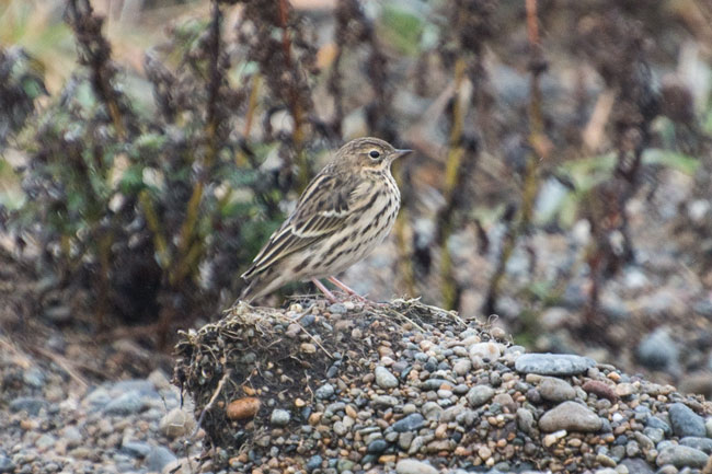 Red-throated Pipits lack the red throat in the fall, but can be identified by their streaked mantle which lacks bold golden braces, evenly streaked breast and pink legs. The call is also diagnostic. Photo Aaron Lang.