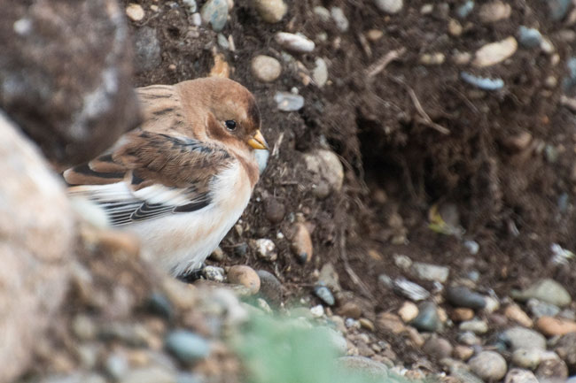 A Snow Bunting hides from the wind. Photo Aaron Lang.
