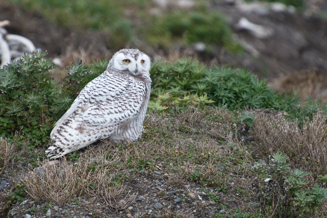 A young Snowy Owl rests in the boneyard at Gambell, Alaska. Photo Aaron Lang.