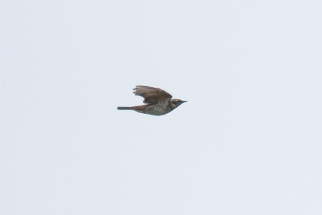 Another shot of the Dusky Thrush as it shows off its belly and underwing.