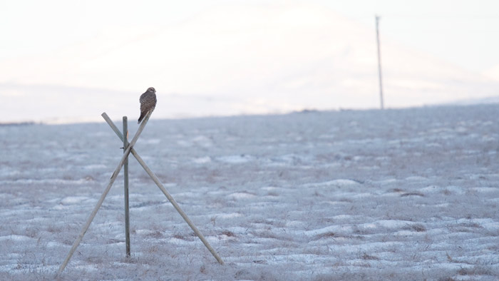 Hoping to spy a ptarmigan of his own, this young Gyrfalcon patrols the tundra outside of Nome.