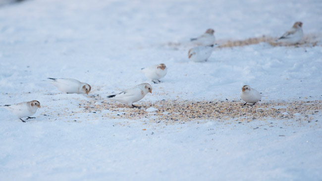 Eight of the 15 McKay's Buntings that were feeding on this seed pile near the edge of town. Thirteen of the 15 were males. There was also a single Snow Bunting in the flock.