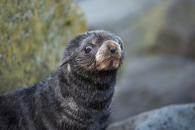 Few things are as cute as a northern fur seal pup!
