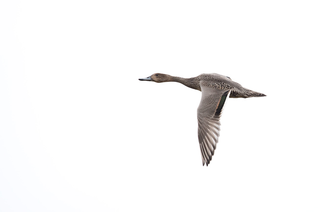 A Northern Pintail does a flyby on Pumphouse Pond.