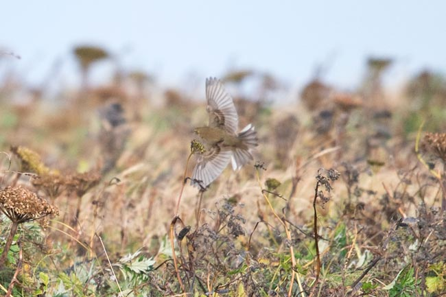 This Olive-backed Pipit was found on the first afternoon of our trip.